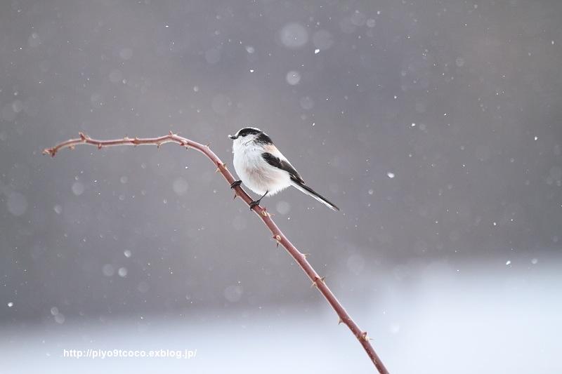 雪*エナガ♪_d0367763_16551490.jpg