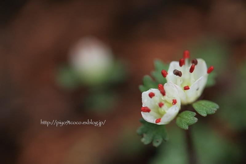 花猫の目 * ハナネコノメ♪_d0367763_17564853.jpg