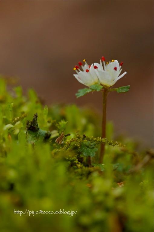 花猫の目 * ハナネコノメ♪_d0367763_17564905.jpg