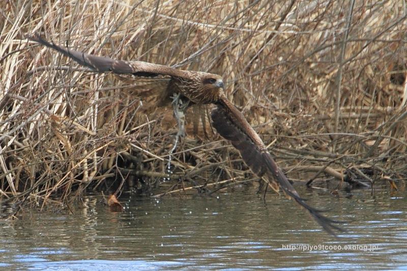 トビが魚を捕まえたんデス♪_d0367763_20050546.jpg
