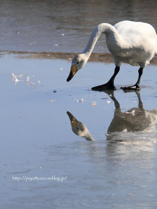 氷上の白鳥すわん♪_d0367763_22153565.jpg