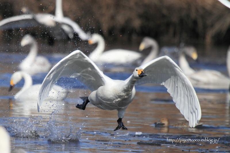 氷上の白鳥すわん♪_d0367763_22153612.jpg