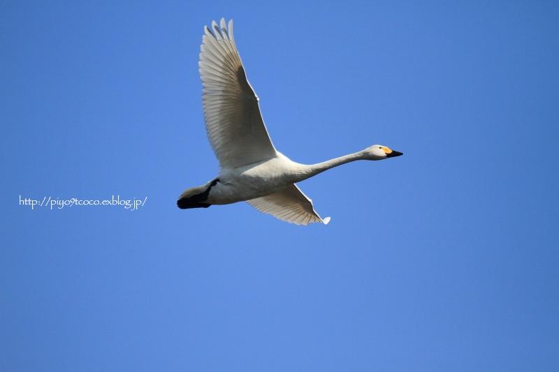 氷上の白鳥すわん♪_d0367763_22153784.jpg
