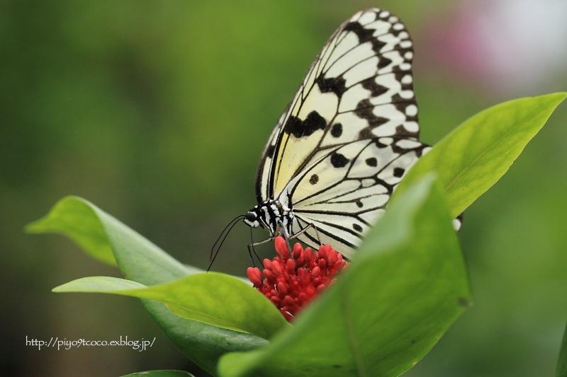 オオゴマダラとピンクのお花♪_d0367763_22164284.jpg