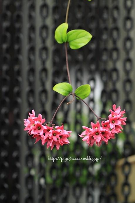オオゴマダラとピンクのお花♪_d0367763_22164397.jpg