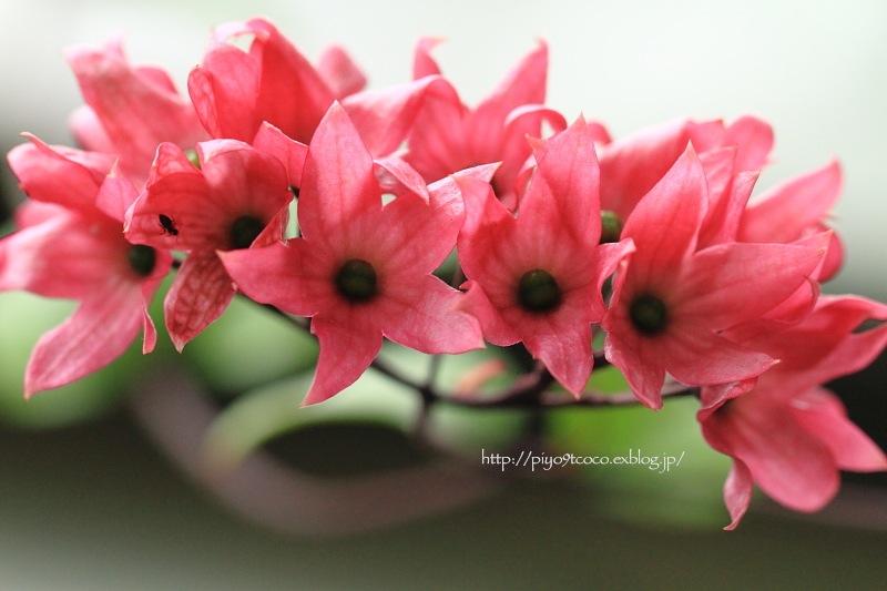 オオゴマダラとピンクのお花♪_d0367763_22164490.jpg
