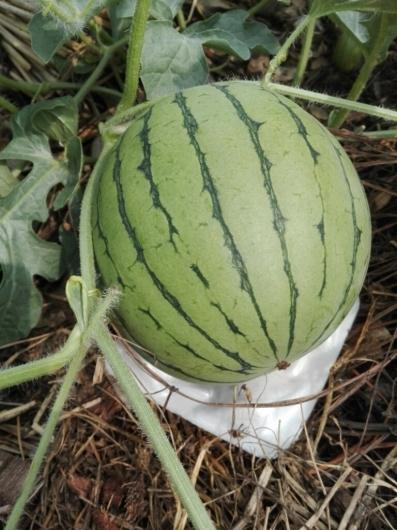 夏野菜の収穫とメロンの贈り物_e0356469_20002082.jpg