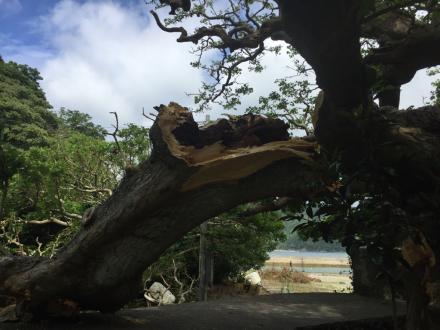 デイゴ並木の最長老の木の枝が折れた。_e0028387_22125959.jpg