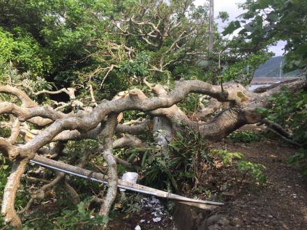 デイゴ並木の最長老の木の枝が折れた。_e0028387_22130047.jpg