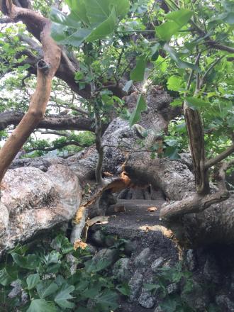 デイゴ並木の最長老の木の枝が折れた。_e0028387_22130057.jpg