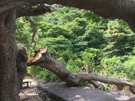 デイゴ並木の最長老の木の枝が折れた。_e0028387_22130195.jpg