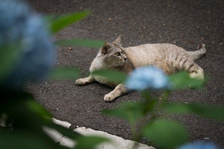 紫陽花の季節の桜猫たち_d0353489_17262138.jpg