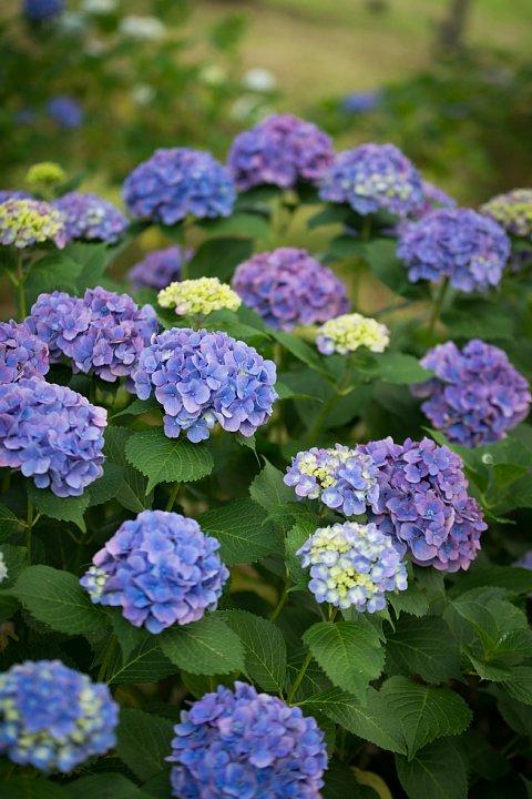 紫陽花の季節の桜猫たち_d0353489_17263899.jpg