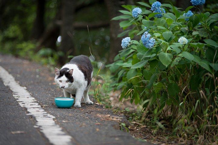 紫陽花の季節の桜猫たち_d0353489_17331579.jpg