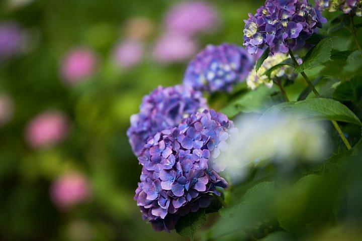 紫陽花の季節の桜猫たち_d0353489_1737579.jpg