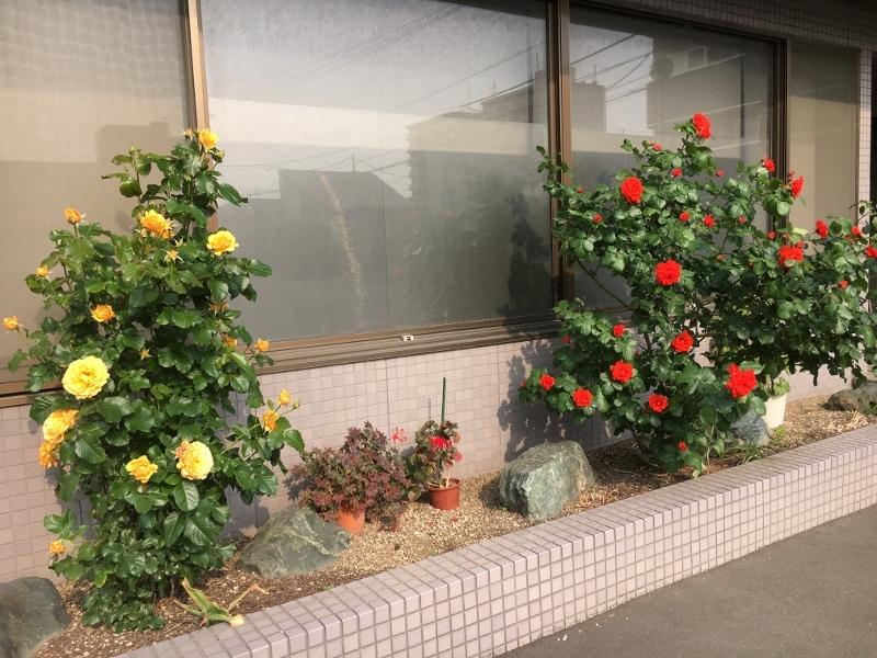 実家のバラは花盛り_e0326953_19125355.jpg