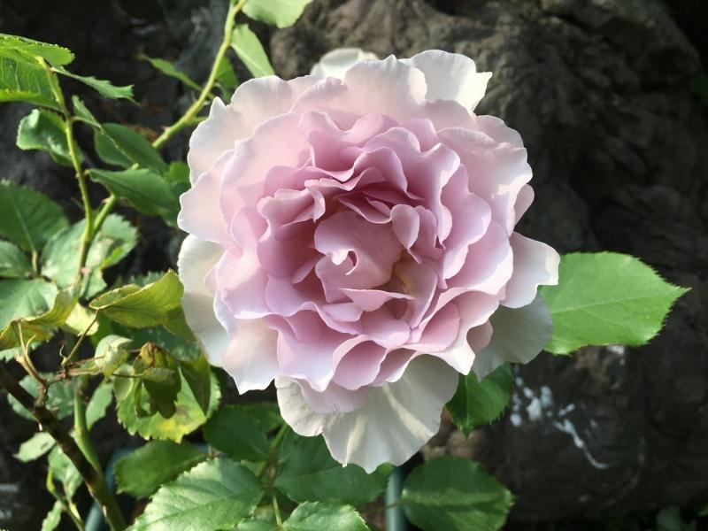 実家のバラは花盛り_e0326953_19185656.jpg