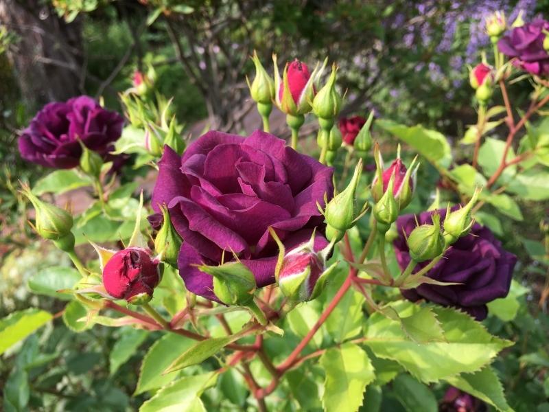 実家のバラは花盛り_e0326953_19193514.jpg