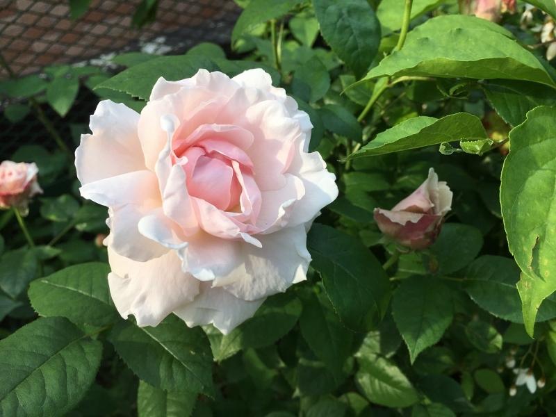 実家のバラは花盛り_e0326953_19225847.jpg