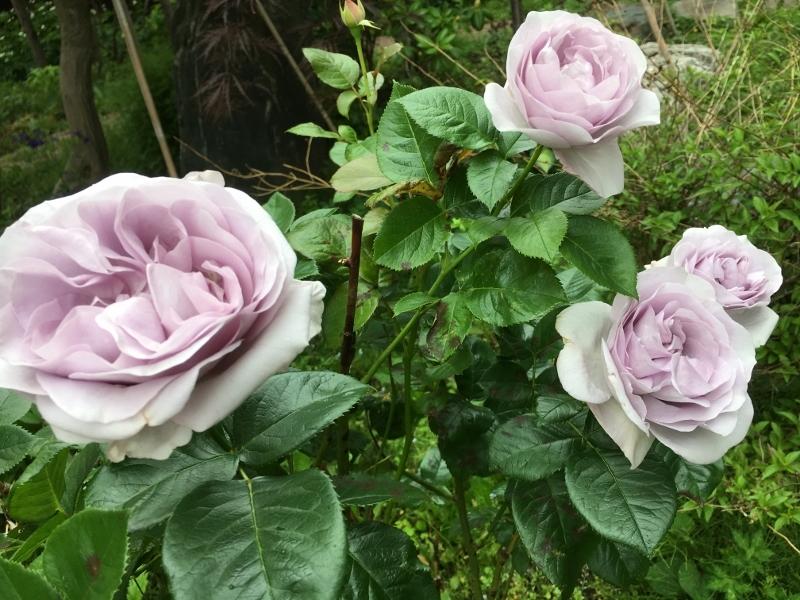 実家のバラは花盛り_e0326953_19324169.jpg