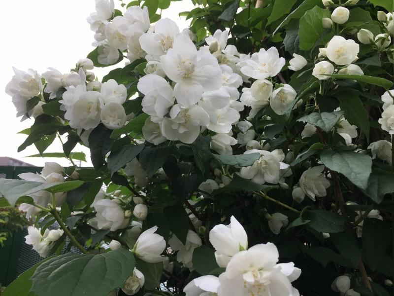 実家のバラは花盛り_e0326953_19371535.jpg