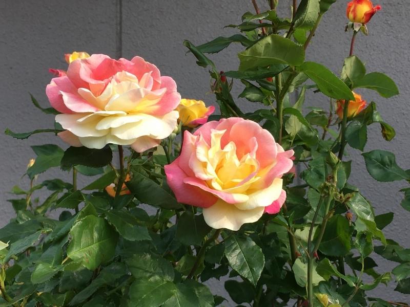 実家のバラは花盛り_e0326953_19501512.jpg