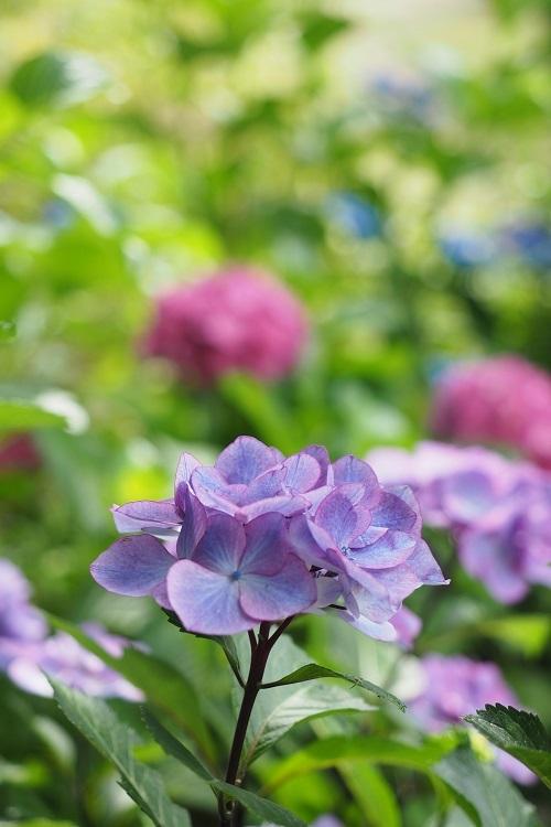 紫陽花キャンディ_a0292060_20551910.jpg