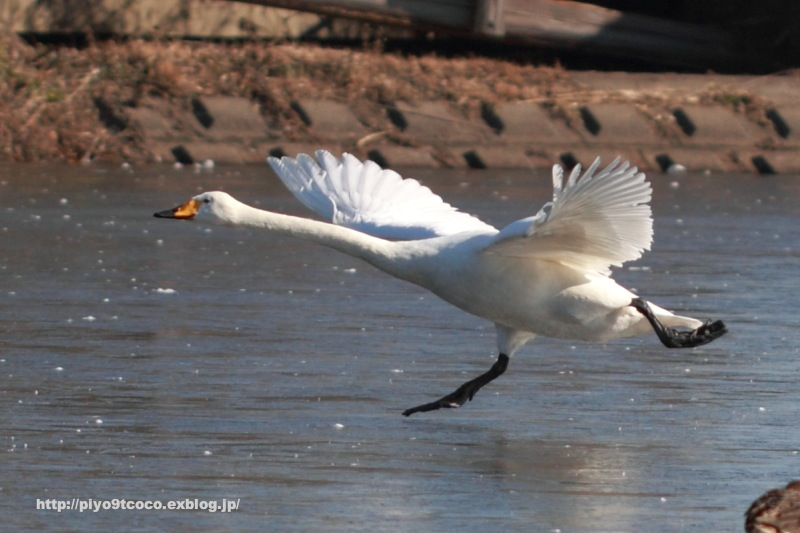 凍った池の白鳥♪_d0367763_10265390.jpg
