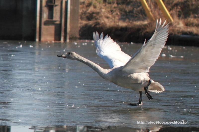 凍った池の白鳥♪_d0367763_10265415.jpg