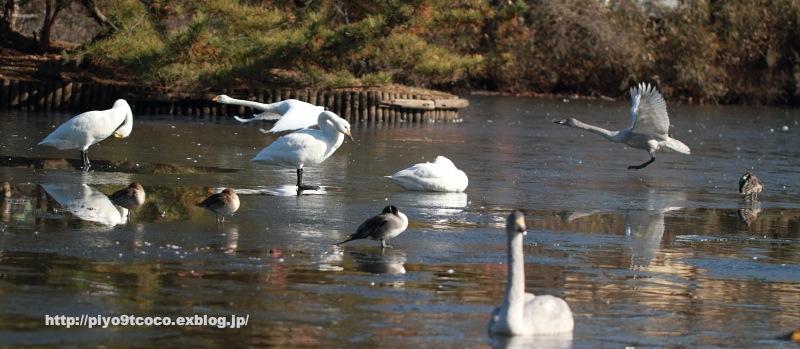 凍った池の白鳥♪_d0367763_10265583.jpg