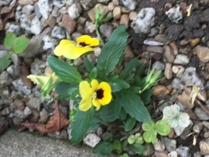 咲き続けるスミレ_a0125981_16565675.jpg