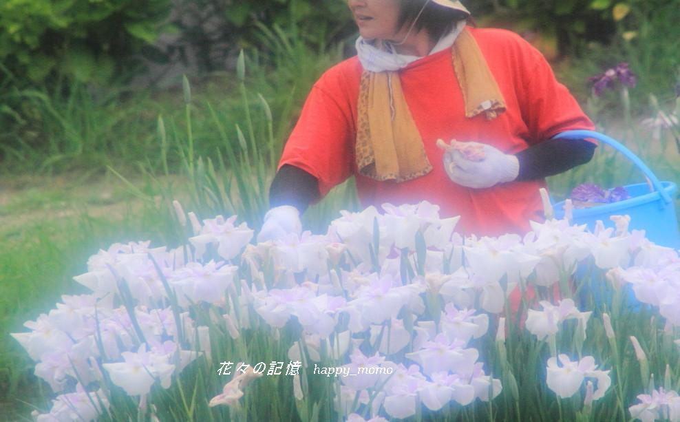 梅雨の晴れ間の菖蒲園_c0357781_08414944.jpg