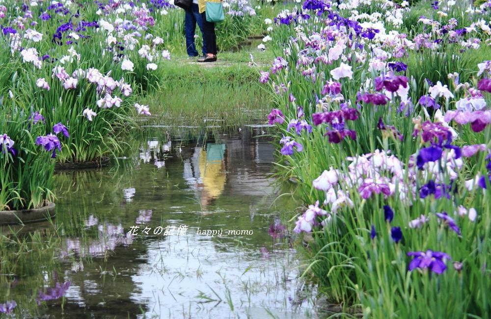 梅雨の晴れ間の菖蒲園_c0357781_08424524.jpg