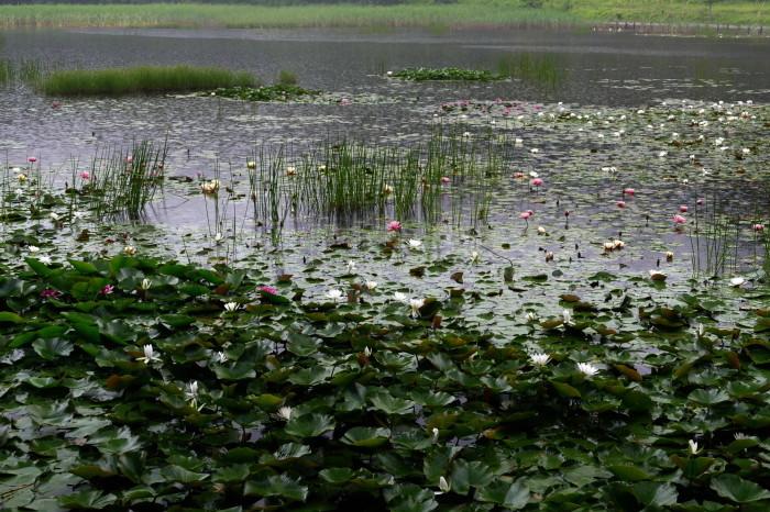 福島市土湯温泉 「照南湖の水蓮」_d0106628_10262139.jpg