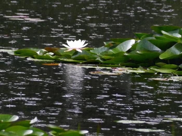 福島市土湯温泉 「照南湖の水蓮」_d0106628_10265393.jpg
