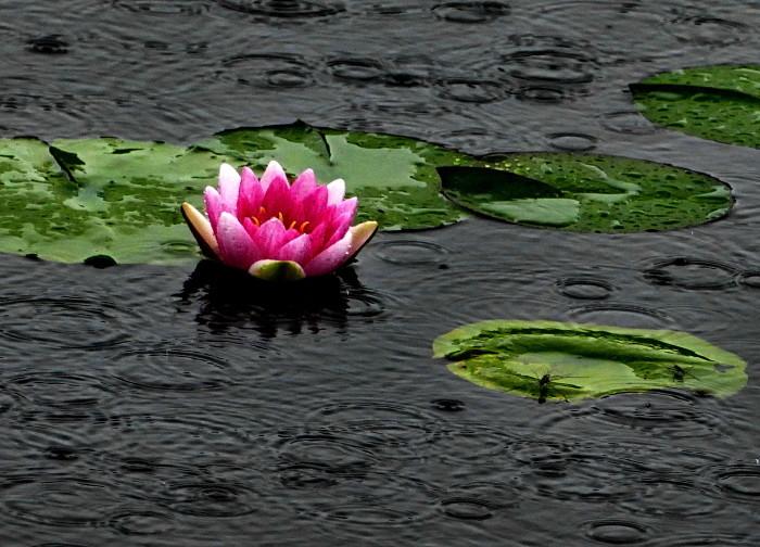 福島市土湯温泉 「照南湖の水蓮」_d0106628_10270495.jpg