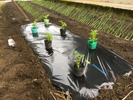 セロリ苗を植える①_a0346455_07140234.jpg
