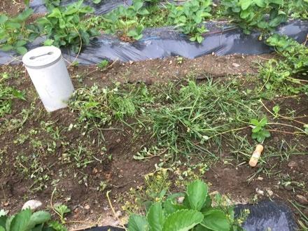 セロリ苗を植える②_a0346455_07225144.jpg