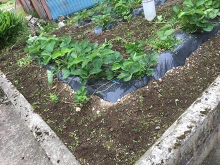 セロリ苗を植える②_a0346455_07233427.jpg