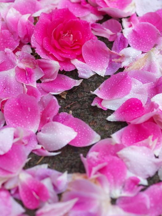 雨の薔薇_e0169421_21572799.jpg
