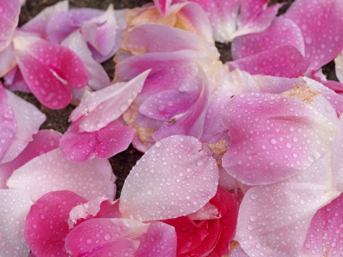 雨の薔薇_e0169421_21573055.jpg