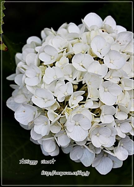 椎茸つくねの照焼き弁当と紫陽花♪_f0348032_17535395.jpg
