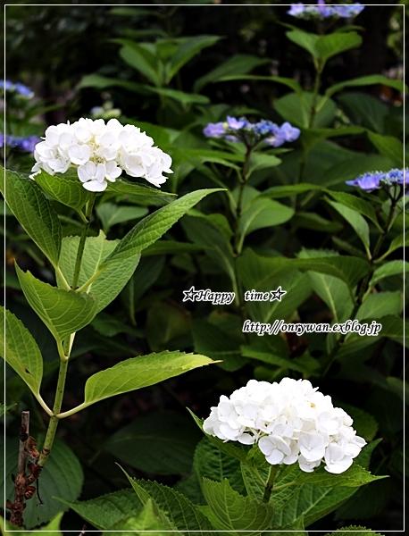 椎茸つくねの照焼き弁当と紫陽花♪_f0348032_17540301.jpg