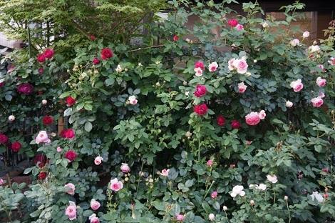 私の バラとーガーデニングショー 2012_a0264538_07593515.jpg