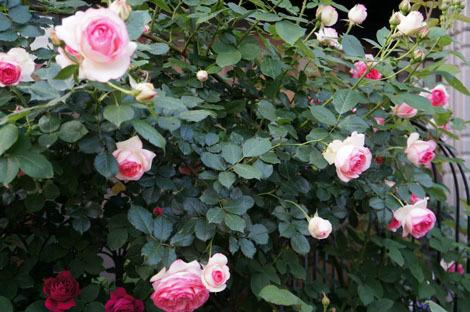 私の バラとーガーデニングショー 2012_a0264538_08000047.jpg