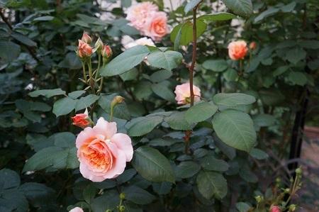 私の バラとーガーデニングショー 2012_a0264538_08023994.jpg