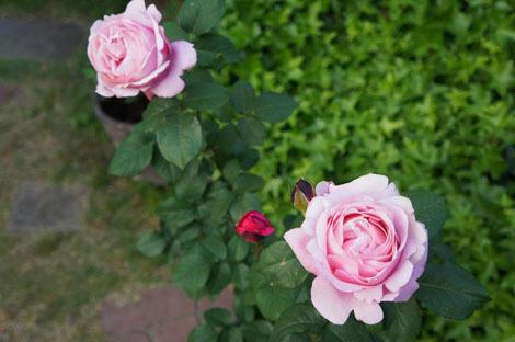 私の バラとーガーデニングショー 2012_a0264538_08030556.jpg