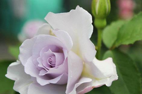 私の バラとーガーデニングショー 2012_a0264538_08034817.jpg