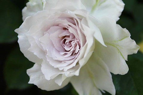 私の バラとーガーデニングショー 2012_a0264538_08040656.jpg