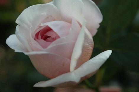 私の バラとーガーデニングショー 2012_a0264538_08045681.jpg
